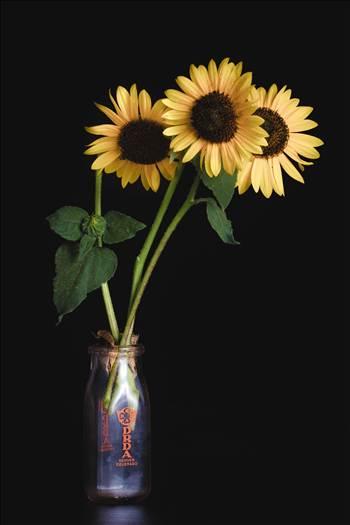 Backyard Sunflowers III by Scott Smith Photos