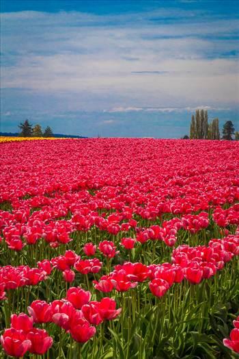 Tulips 2 by Scott Smith Photos