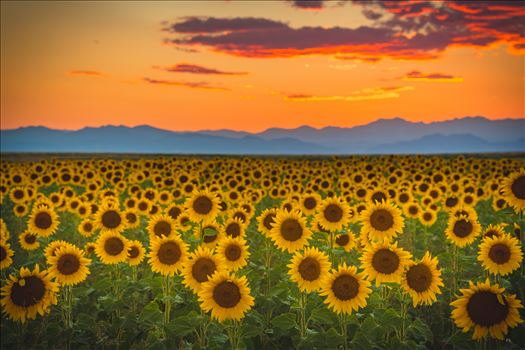 Denver Sunflowers at Sunset No 1 by Scott Smith Photos