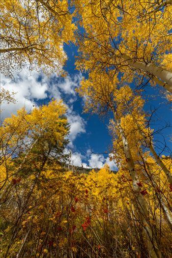 Aspens to the Sky No 2 - Aspens and wild berries in Fall. Taken near Maroon Creek Drive near Aspen, Colorado.