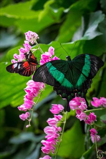 Pair of Butterflies by Scott Smith Photos