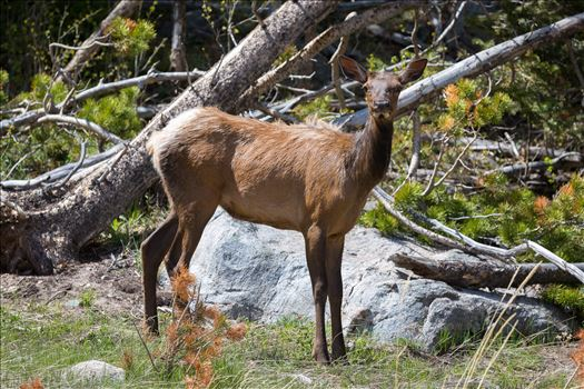 Young Elk by Scott Smith Photos