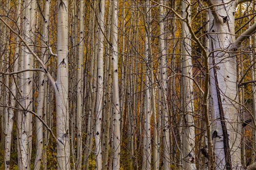 Simple Aspens - A dense grove of aspens near Marble, Colorado, in the fall.
