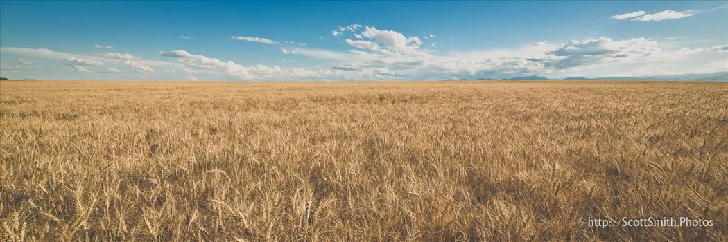 Fields of Wheat by Scott Smith Photos