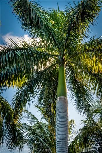 Golden Hour Palm Tree by Scott Smith Photos