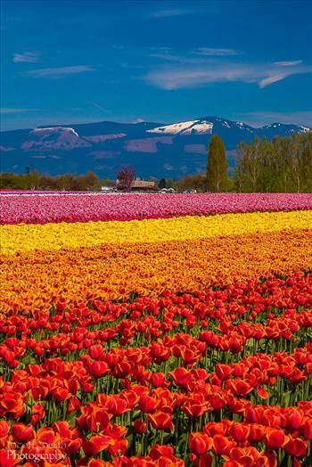 Tulips with a View by Scott Smith Photos