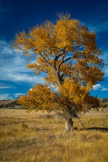 Country Tree No 2 - A lone tree in a large pasture near Guffy, Colorado.