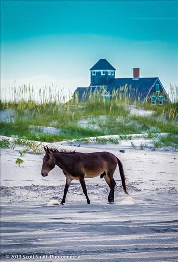 Wild Horses of Currituck by Scott Smith Photos