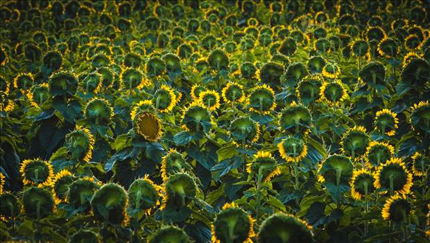 Sunflower Sunrise II by Scott Smith Photos