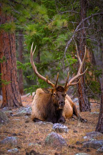 Sunday Elk No 07 by Scott Smith Photos