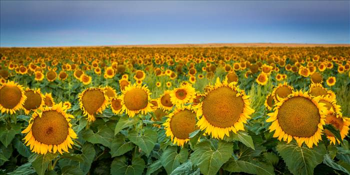 Sunflower Sunrise IV by Scott Smith Photos