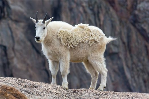 Mt Evans-Mountain Goat by Scott Smith Photos