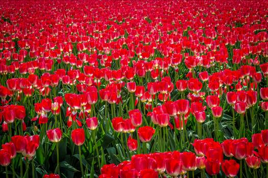 Sea of Red Tulips by Scott Smith Photos