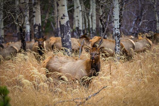 Sunday Elk No 01 by Scott Smith Photos