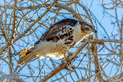 Swainson's Hawk by Scott Smith Photos