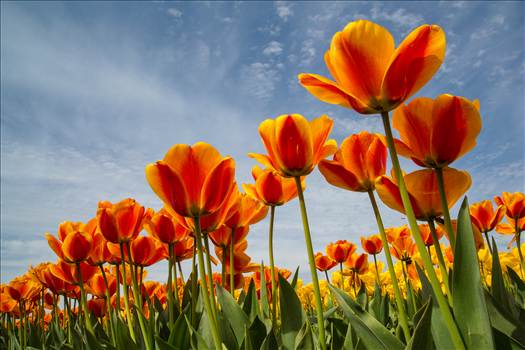 Tulip Festival by Scott Smith Photos