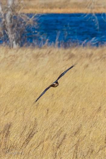Marsh Hawk 3  by Scott Smith Photos