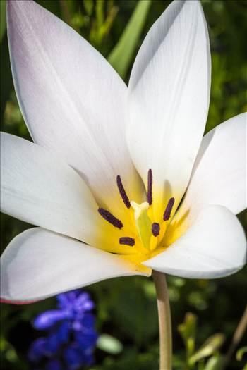 Spring Tulip by Scott Smith Photos
