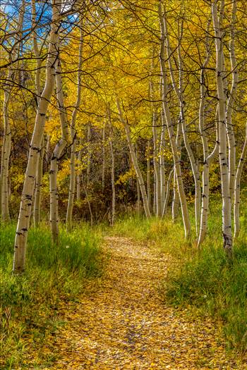 Rim Trail Aspens by Scott Smith Photos