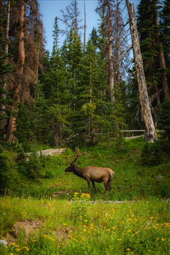 Elk in the Wild by Scott Smith Photos