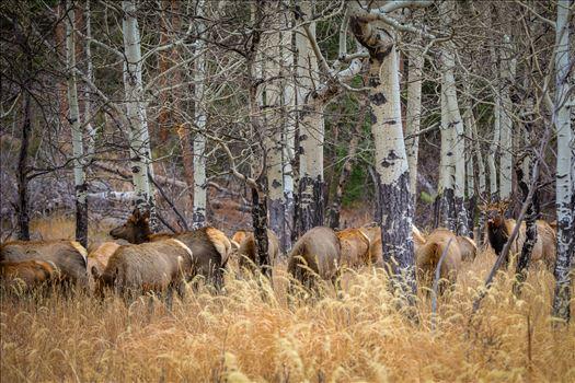 Sunday Elk No 03 by Scott Smith Photos
