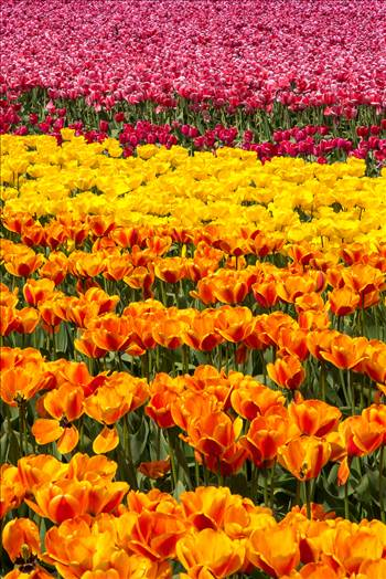 Tulips 4 by Scott Smith Photos