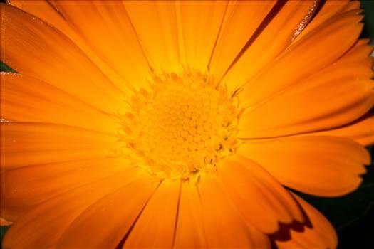 Orange Daisy by Scott Smith Photos