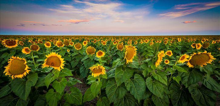 Colorado Sunflower Sunrise by Scott Smith Photos