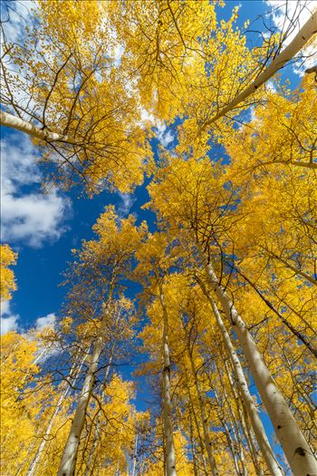 Aspens to the Sky No 1 - Aspens reaching skyward in Fall. Taken near Maroon Creek Drive near Aspen, Colorado.