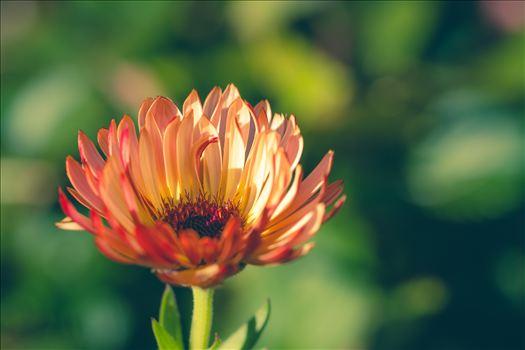 Fall Flower by Scott Smith Photos