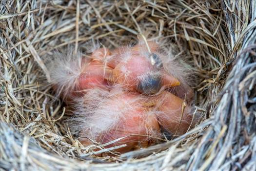 Babies in the Nest by Scott Smith Photos