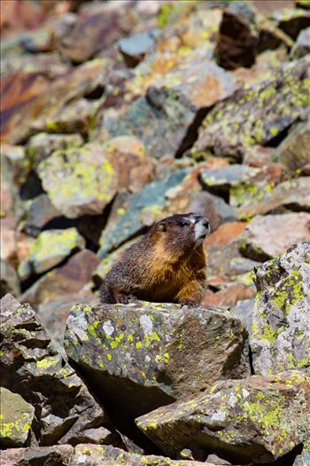 Ophir Pass Marmot by Scott Smith Photos
