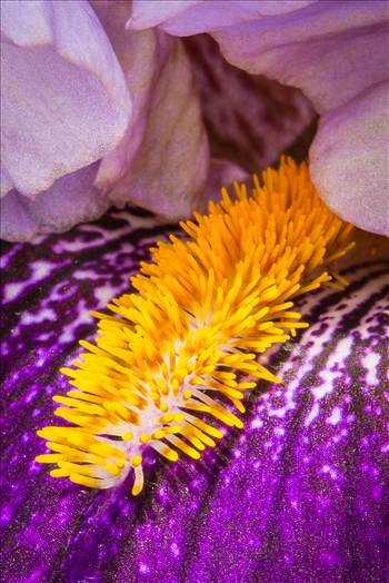 Iris Closeup by Scott Smith Photos