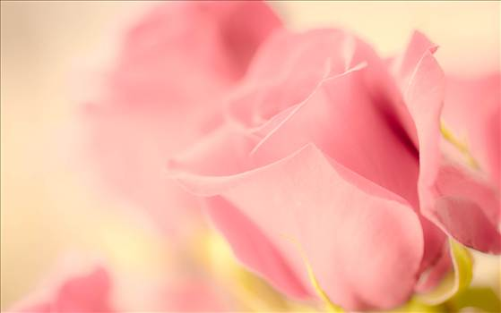 _MG_3344Valentine roses pink.jpg by WPC-187