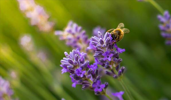 Bee on lavender.jpg by WPC-187