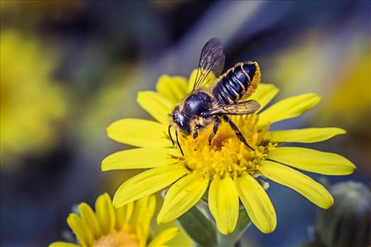 _MG_6449bee and yellow flower.jpg by WPC-187