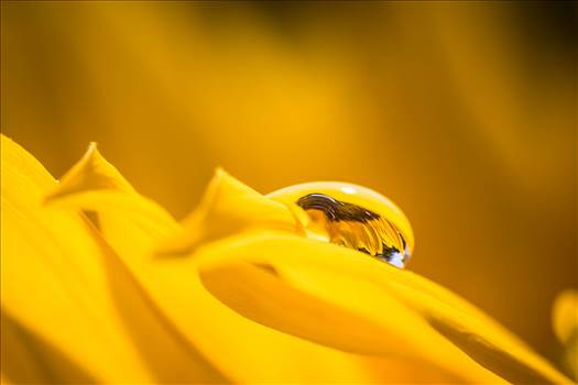 _MG_5693Sunflower Droplet.jpg by WPC-187