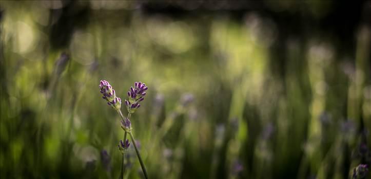 Lavender.jpg by WPC-187