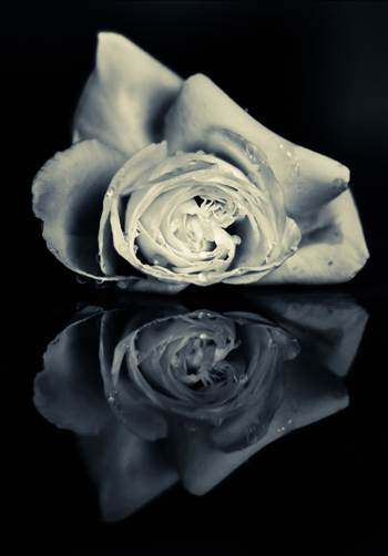 Rose reflection.jpg by WPC-187