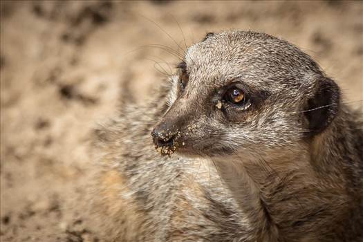 _MG_6467Meercat close up.jpg by WPC-187