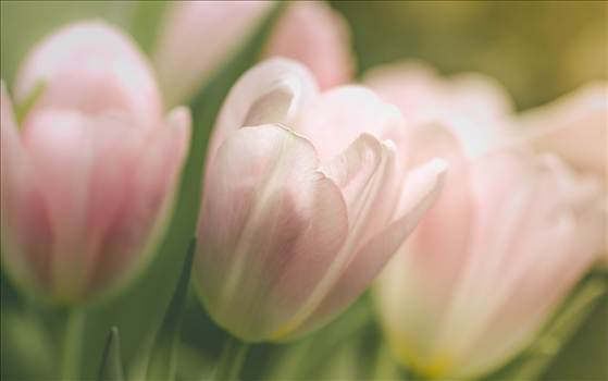 _MG_3641Gentle tulips.jpg by WPC-187