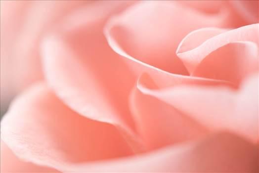 Gentle Rose-8593.jpg - undefined