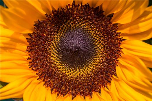 _MG_5626Sunflower.jpg by WPC-187
