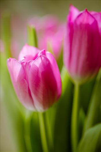 _MG_4549Pink tulips.jpg by WPC-187