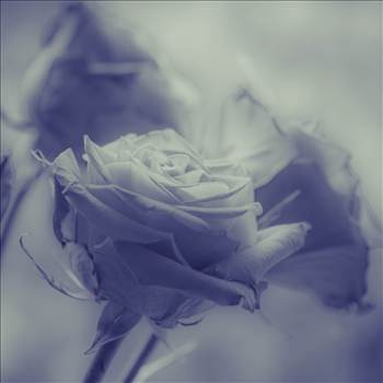 _MG_3429Valentine roses blue.jpg by WPC-187