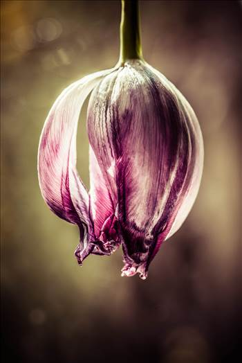 _MG_4699Tulip End.jpg - undefined
