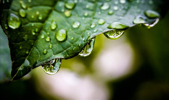 Droplets from leaf.jpg by WPC-187