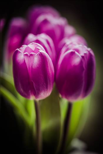 _MG_4560Purple tulips.jpg by WPC-187