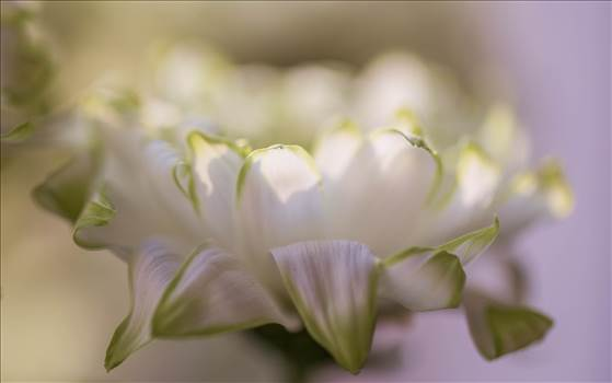 white flowers with green edges.jpg by WPC-187