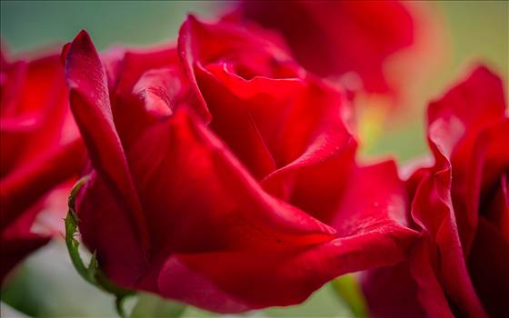 _MG_3435Valentine roses.jpg by WPC-187